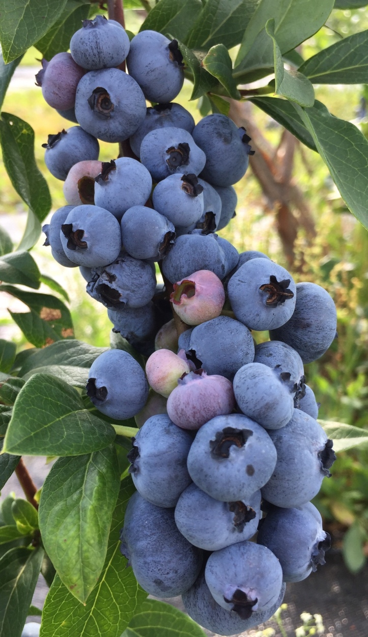 New York Blueberries