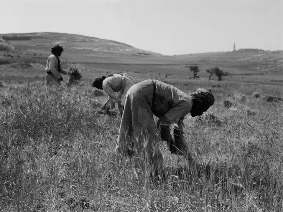 Barley Harvest.  Photo from BiblePlaces.com